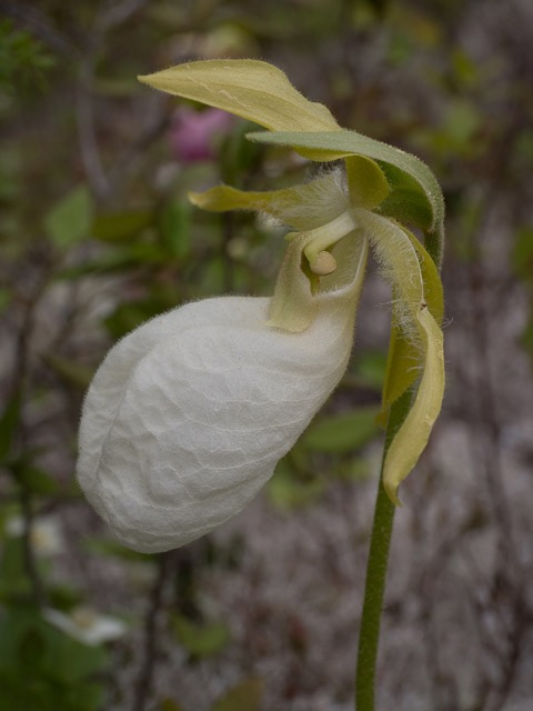 cypripedium-acaule-alba-small